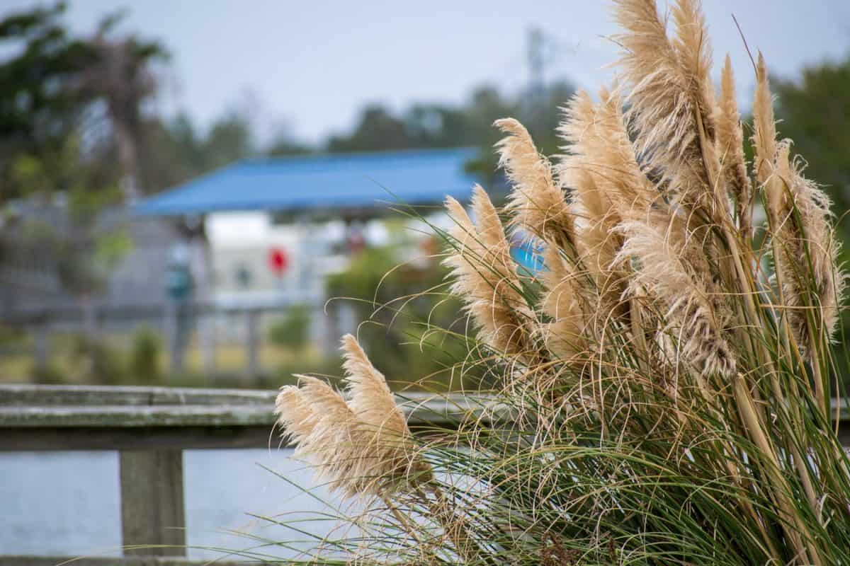 pampas grass by the waterfront